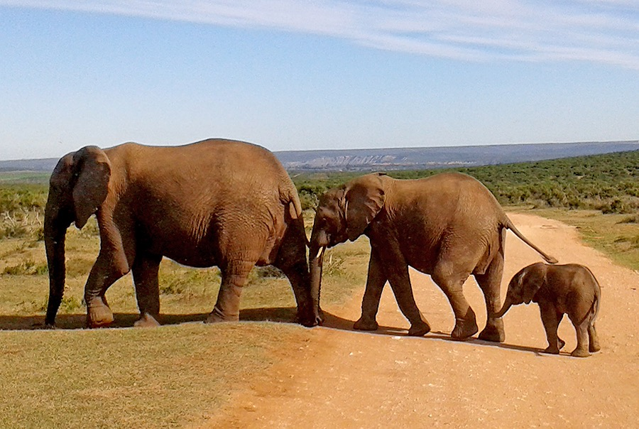 Elephant-Family- Safari