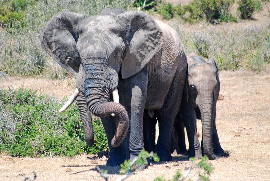 Elephant family group safari