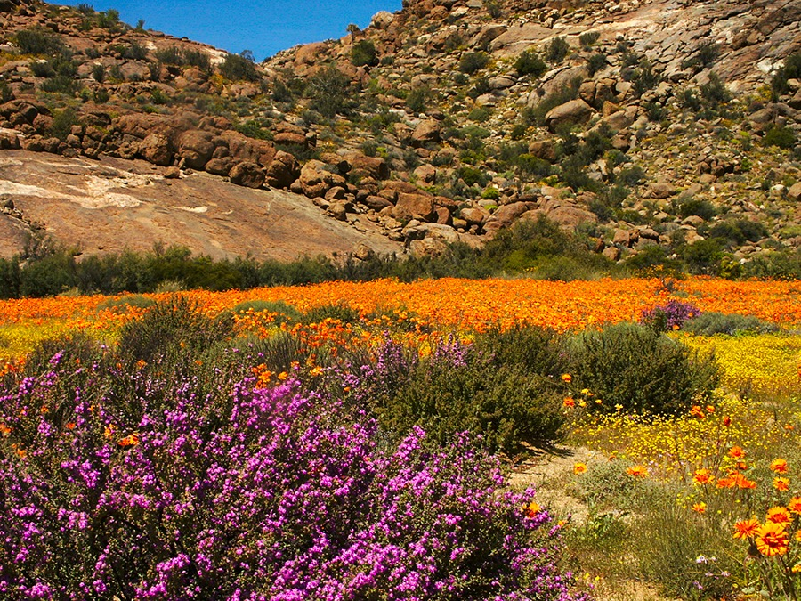Namaqualand-Flowers